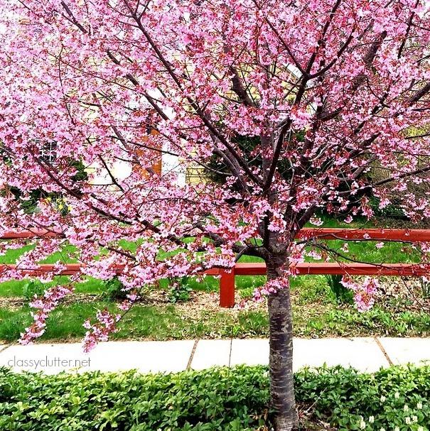 Pink Tree in the Spring.jpg
